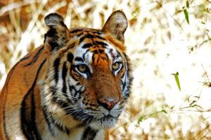 wild lebender freier Tiger in Bandhavgarh Nationalpark in Indien Säugetiere Raubtiere
